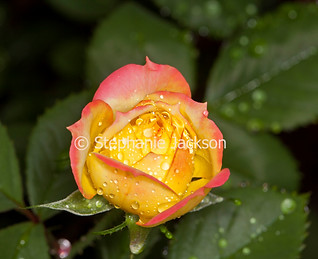 Pink and yellow bud of Chameleon rose - IMG 6452