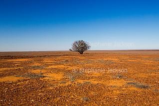 Solitary tree on arid Australian outback plains - IMG 9831