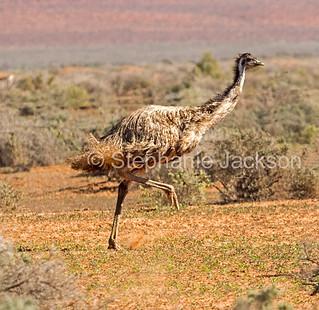 Emu running in outback NSW Australia - IMG 1748
