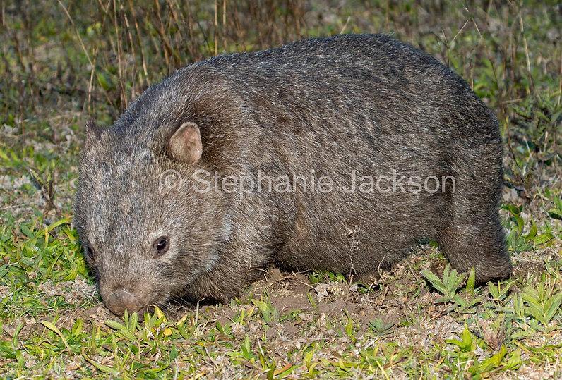 wombat_MG_1183.jpg