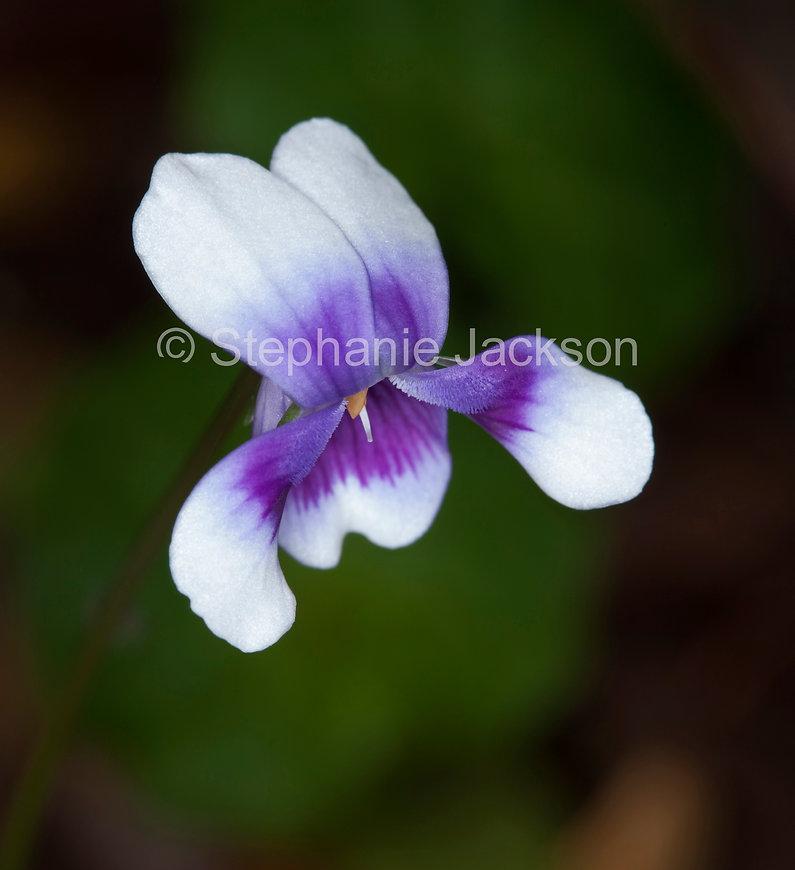 Viola_hederaceae_MG_4135.jpg