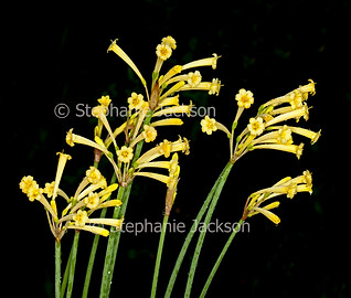 Cyrtanthus mackenii, yellow flowers of Ifafa lily - IMG 9221