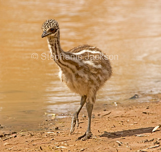 Emu chick beside water in the Australian outback - IMG  0752