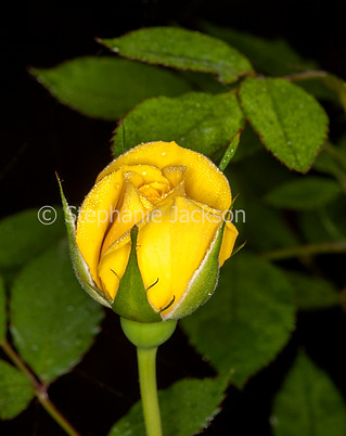 Bright yellow rose bud with water on petals - IMG 7275