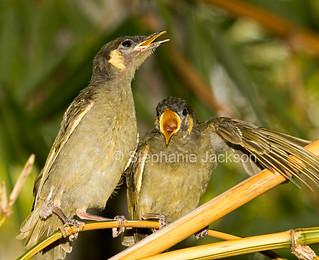 Australian Lewins honeyeater fledglings - IMG 9846