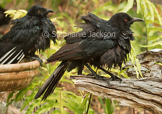 White-winged chough with wet plumage - IMG 3467