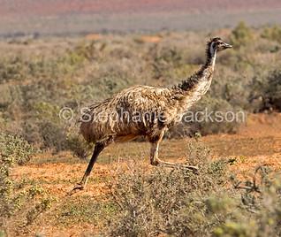Emu running in outback NSW Australia - IMG 1750