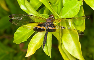 Yellow-striped dragonfly, Rhyothemis phyllis - IMG 8527