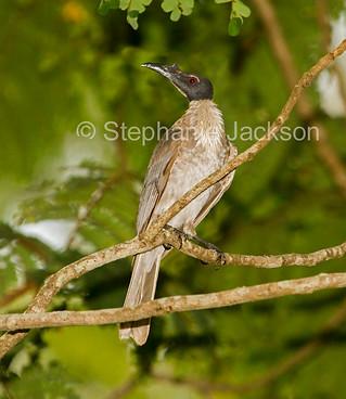 Noisy friarbird, Philemon corniculatus - IMG 3915