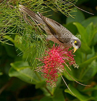 Noisy miner bird on grevillea flower - IMG 6700-1