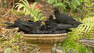 White-winged choughs in garden bird bath - IMG 3430