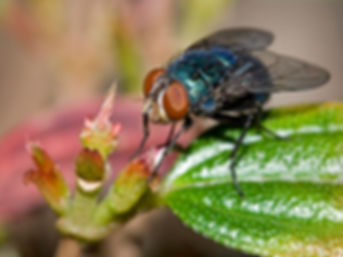 Fly_on_leaf_MG_7022.jpg