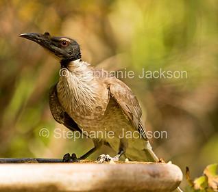 Noisy friarbird, Philemon corniculatus - IMG 9295