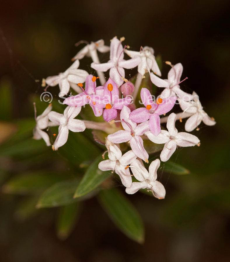 Pimelea_linifolia_MG_5142.jpg