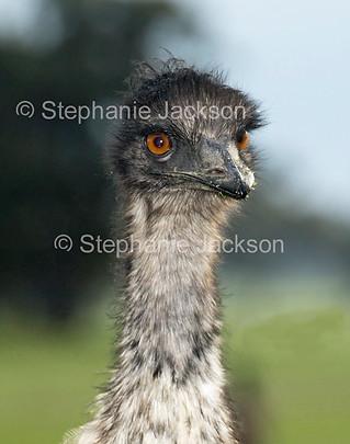 Close up of face of Australian emu - IMG 1547