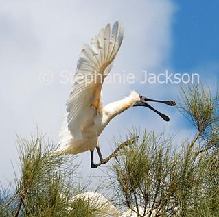 Australian Royal Spoonbill, Platalea regia, in flight - IMG 4674