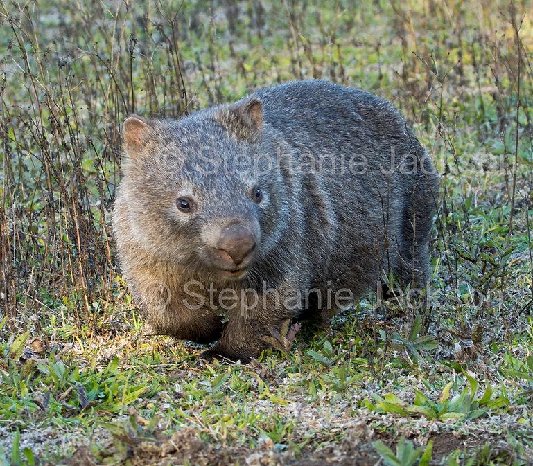 wombat_MG_1175.jpg