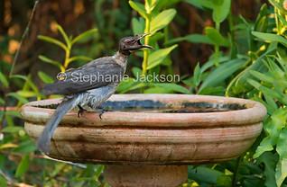 Noisy friarbird, Philemon corniculatus, at bird bath - IMG 1246