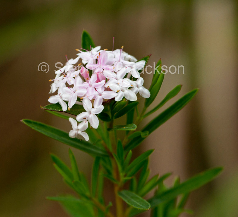 Pimelea_linifolia_Wildflowers_at_Kroombi