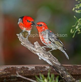 Australian scarlet honeyeaters at a garden bird bath - IMG 0812