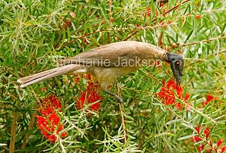 Noisy friarbird with red callistemon flowers - IMG 6314