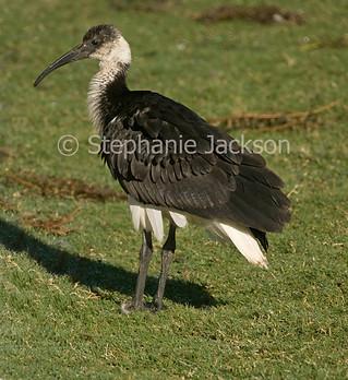 Straw necked ibis, Threskiornis spinicollis - IMG 0433