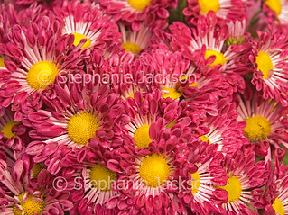 Red chrysanthemum flowers with raindrops on petals - IMG D443
