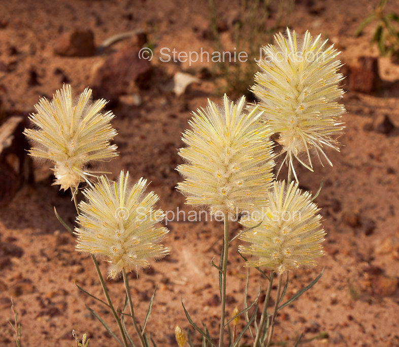 ptilotus_macrocephalus_flowers_MG_7455.j