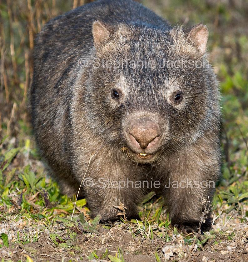 wombat_MG_1179.jpg