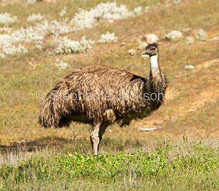 Australian emu in Flinders Ranges National Park - IMG 7774A