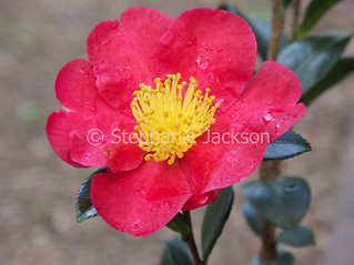 Red flower of Camellia sasanqua 'Yuletide' - IMG D170