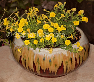 Calibrachoa with yellow flowers in decorative pot - IMG 4963