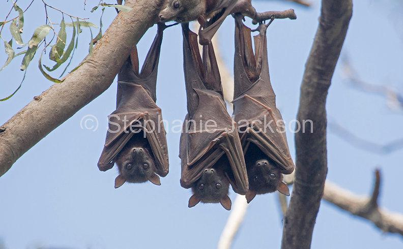 Fruit_bats_flying_foxes_MG_1651.jpg