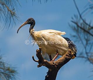 Australian white / sacred ibis, Threskiornis moluccus - IMG 3451