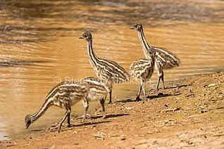 Emu chicks beside water in the Australian outback - IMG 0738