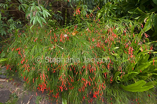 Red flowers and green foliage of Russellia equiseliformis - IMG 9736-1