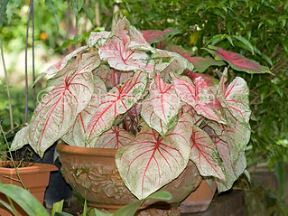 Red and white leaves of Caladium in a terracotta pot - IMG 6312