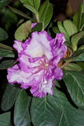 Flower of Azalea indica 'Rosa Belton' - IMG 8070