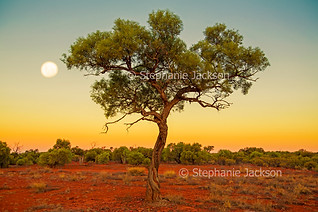 Solitary tree and full moon at dusk in outback Australia - IMG 4166-2