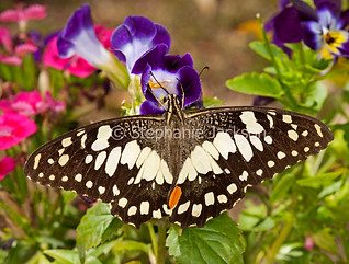 Chequered swallowtail butterfly, Papilio demonius - IMG 7489