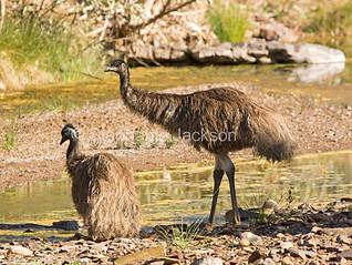 Emus beside outback waterhole in South Australia - IMG 9176