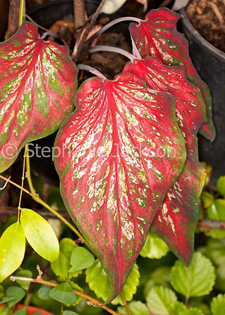 Red and green leaves of Caladium - IMG 5315