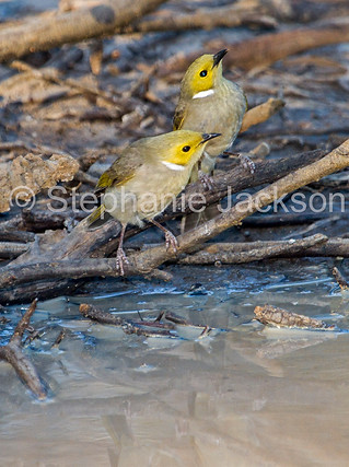 White-plumed honeyeaters in outback Australia - IMG 7867