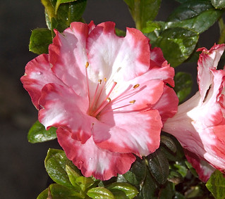 Pink and white flower of Azalea indica 'Gay Paree' - IMG 009