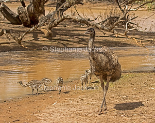 Male emu with his chicks at Australian outback river - IMG 0743