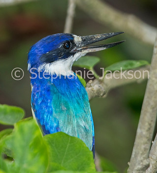Australian sacred kingfisher, Todiramphus sanctus - IMG 0499