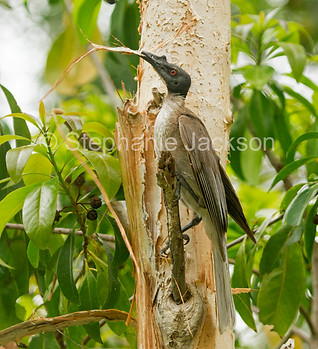 Australian friar bird with nesting material - IMG 6529