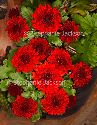 Red flowers of chrysanthemum / daisy flowers - IMG 7552