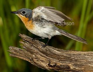 Female Leaden Flycatcher, Myiagra rubecula in flight - IMG 3601