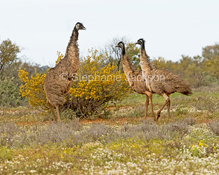 Emus among wildflowers in outback Australia - IMG 0640